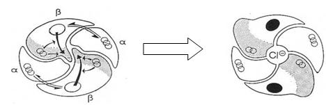 Figure11: le fonctionnement du récepteur GABA-A.
