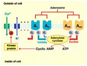 L'inhibition non spécifique des récepteurs présynaptiques A1, A2 et A3 de l'adénosine