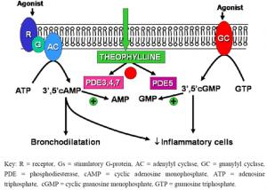 L'inhibition non spécifique de la phosphodiéstérase (PDE)