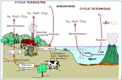 Biosynthèse endogéne des dérivés nitrés