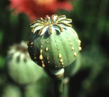 pavot opium