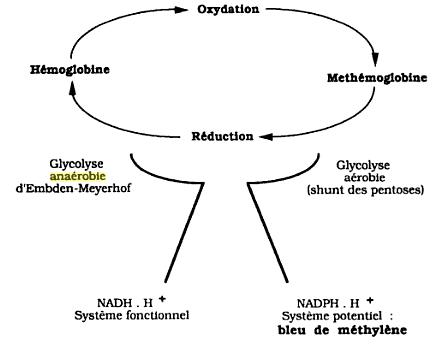 Réduction de la méthémoglobine (schéma général)