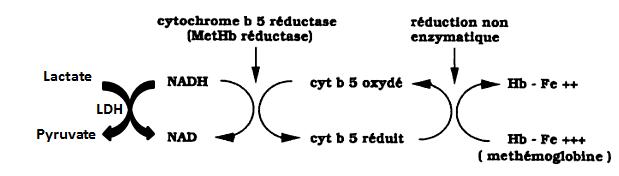 Voie anaérobie NADH2 -Dépendante