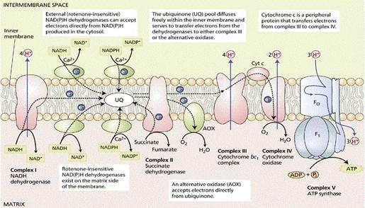 chaine respiratoire mitochondriale