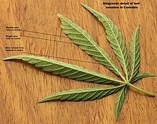 Partie inférieure de la feuille de Cannabis sativa