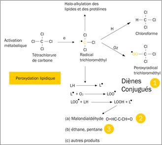 Figure 4.3. Mécanisme d'hépatotoxicité du tétrachlorure de carbone (peroxydation lipidique).