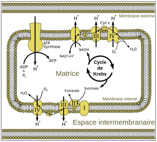 Figure 9.14. La chaîne respiratoire mitochondriale