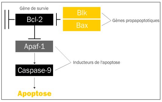 Figure 11.1. Acteurs moléculaires de l'apoptose