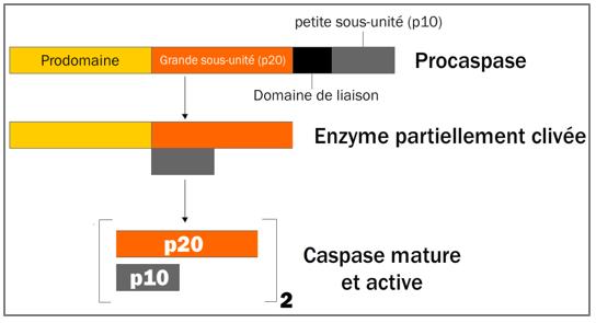 Figure 11.2. Activation des caspases