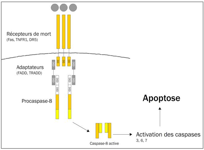 Figure 11.4. Voie extrinsèque de l'apoptose