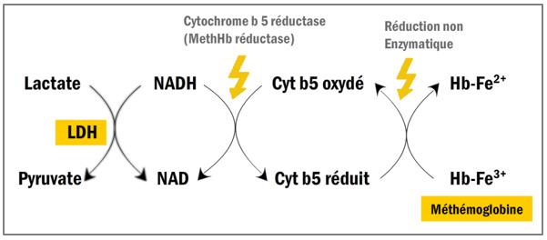 Voie anaérobie NADH2 –Dépendante
