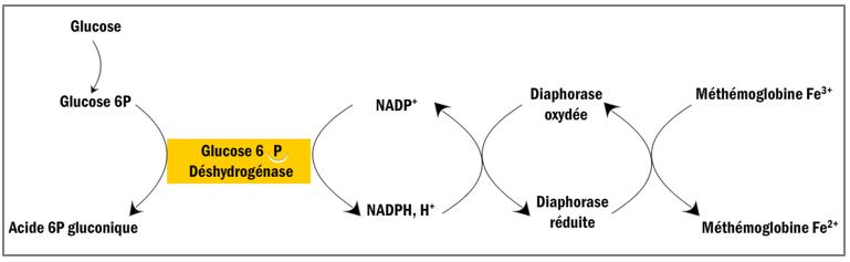 Voie aérobie NADPH2 –dépendante