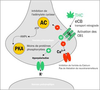 Mécanisme d'action du ∆9-THC