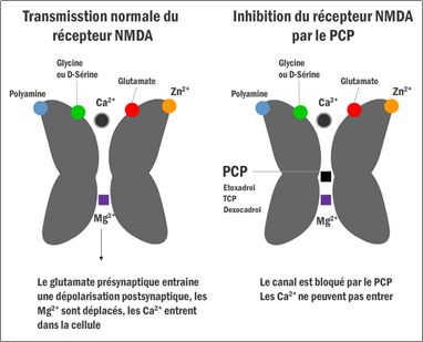 Mécanisme d'action du PCP