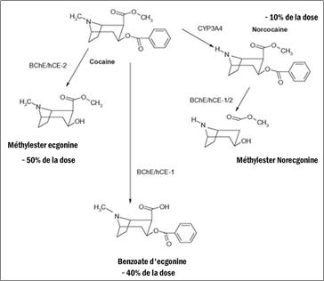 Métabolisme de la cocaïne en absence d'alcool