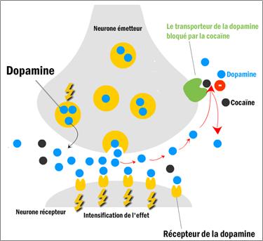 Mécanisme d'action de la cocaïne