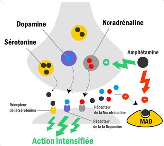 Mécanisme d'action des amphétamines