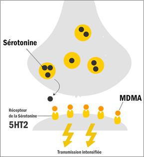 Mécanisme d'action de la MDMA